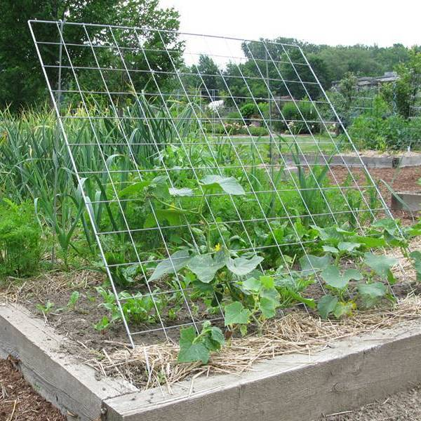 Growing Zucchini On A Trellis: Cucumber Trellis Keep Cucumber And Zucchini Vines Off The