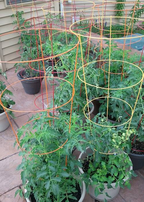 Tomato Cages Keep Peas Cubers Zucchini Pepper Growing